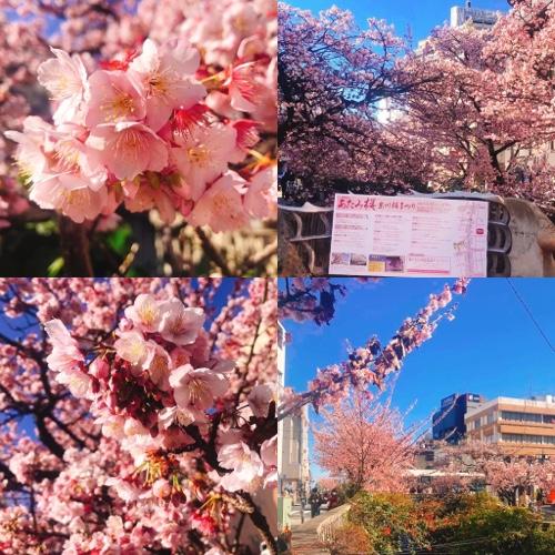 あたみ桜 熱海糸川の桜が開花!早咲き! 熱海観光にもどうぞ