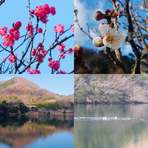 伊東松川湖梅の花も開花 春の伊豆観光を満喫 早咲き河津桜も