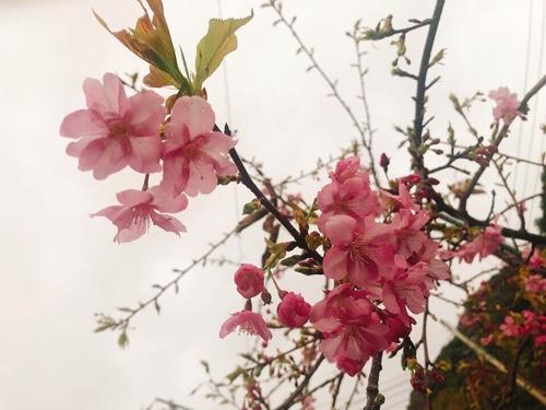 河津桜一早く開花する桜も!金目鯛まつりも 伊豆最大春イベント徳造丸