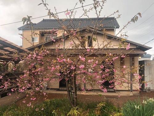一部ではいち早く開花します 河津桜