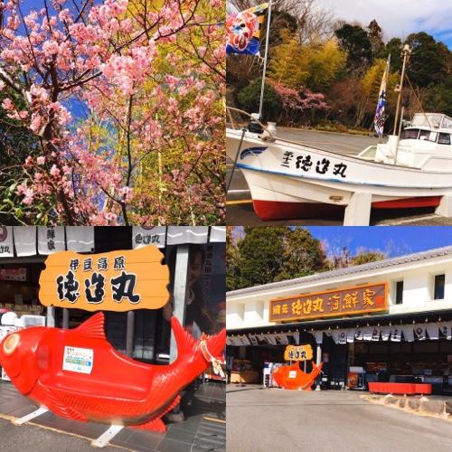 伊豆高原でも早咲きの河津桜が開花!伊豆高原桜まつりも