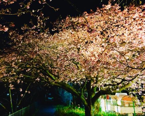 夜桜ライトアップ 河津桜まつりまもなく伊豆最大イベント