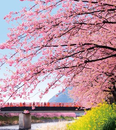 伊豆河津町発祥の河津桜。菜の花とのコントラストや夜桜ライトアップも見ものです。