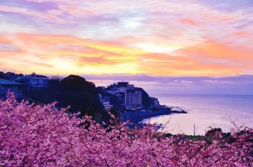河津桜と伊豆稲取志津摩海岸。この時期は河津桜も。徳造丸