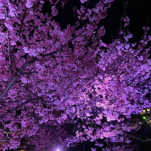 河津桜 夜桜ライトアップ 伊豆稲取文化公園 無料の足湯も