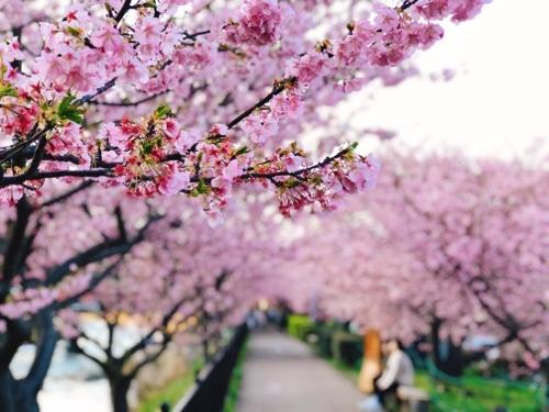 桜並木。満開・見頃を迎えた河津桜まつり。今年は早咲きです。2020/02/16