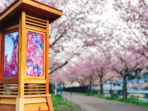 満開・見頃を迎えた河津桜まつり。今年は早咲きです。2020/02/16
