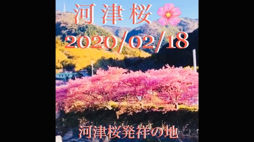 河津桜開花情報 見頃・満開!早春の伊豆半島へ 金目鯛まつりも