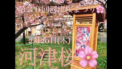 河津桜まつり開花情報2020年2月20日 早春の伊豆半島最大イベント