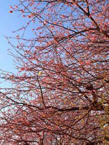 (縦写真)河津正月桜 河津桜より早い伊豆の超早咲き