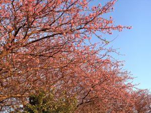 (横写真)河津正月桜 河津桜より早い伊豆の超早咲き