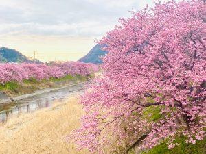 今日の河津桜2021年2月14日伊豆河津発祥の早咲きの桜