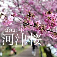 今日の河津桜2021年2月11日 伊豆河津発祥の早咲き桜 徳造丸