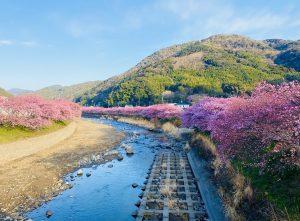 河津桜2021年 春の訪れを告げる伊豆河津発祥の早咲き桜