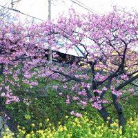 河津桜並木2021年2月15日伊豆河津町発祥の早咲き桜
