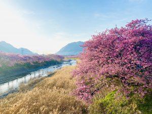 川沿いに咲く河津桜 青い空と時期になると菜の花の黄色も見事です